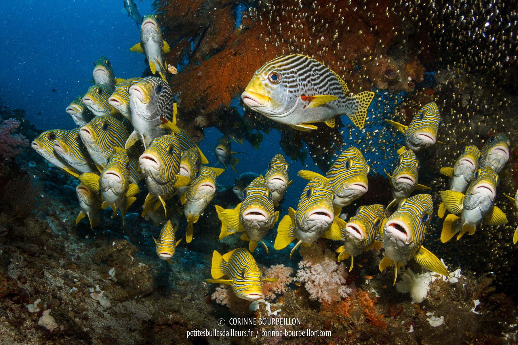 Sweetlips gathered at Otdima reef. (Raja Ampat, West Papua, Indonesia)