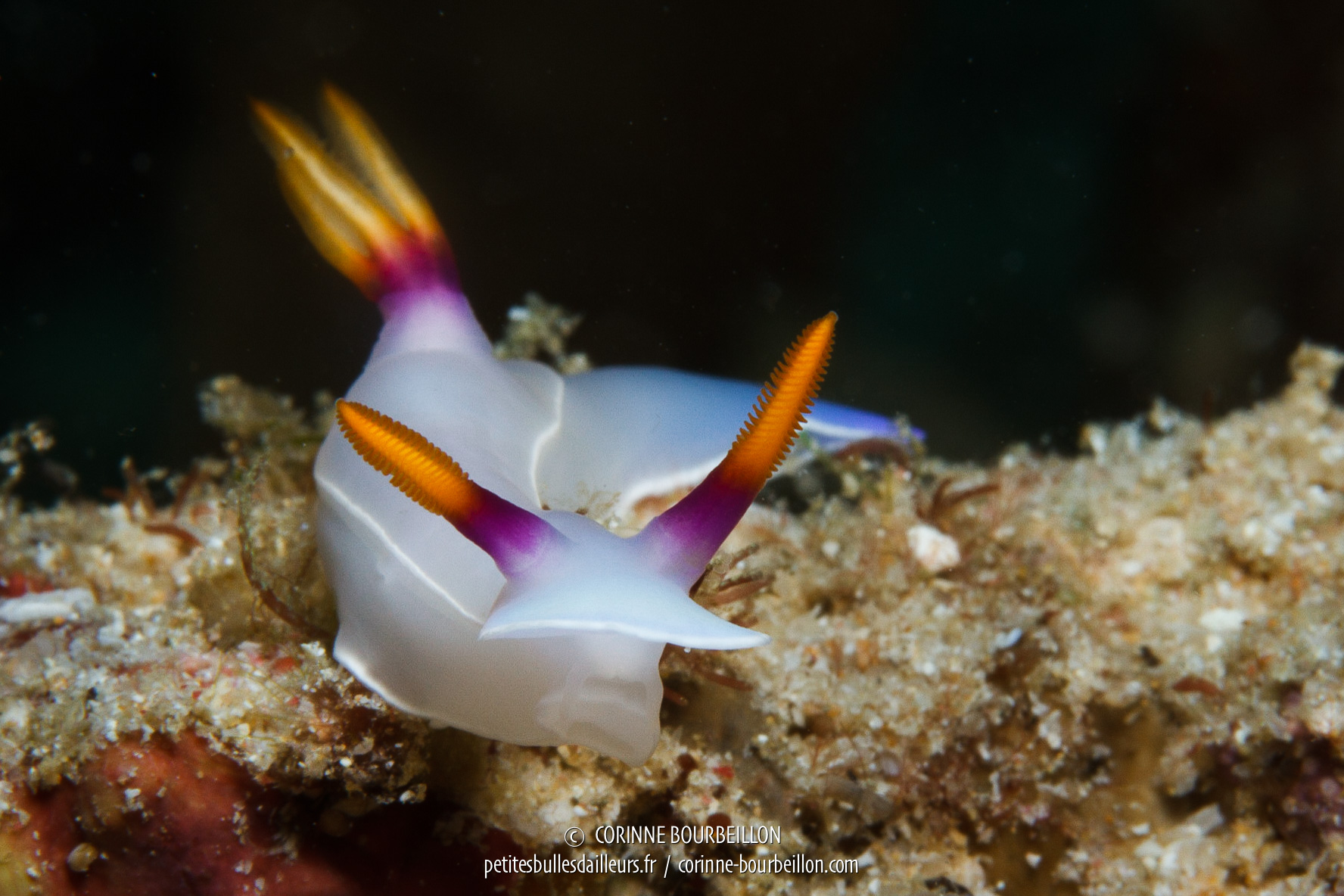 A delicate nudibranch (or sea slug) at Triton Bay. (West Papua, Indonesia)